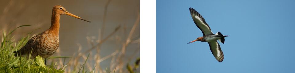 Meld uw eerste waarnemingen van weidevogels in polder Oukoop