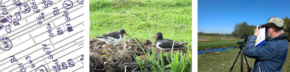 Kuikenoverleving weidevogels in polder Oukoop