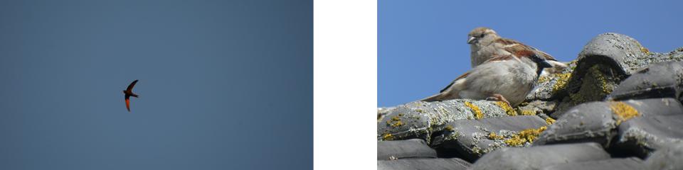 Ecologische onderzoeken voor Huismus en Gierzwaluw actueel